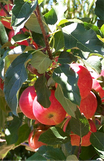 biodynamic apples fruit